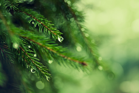 Pine tree with morning dew on the twig, abstract natural backgrounds
