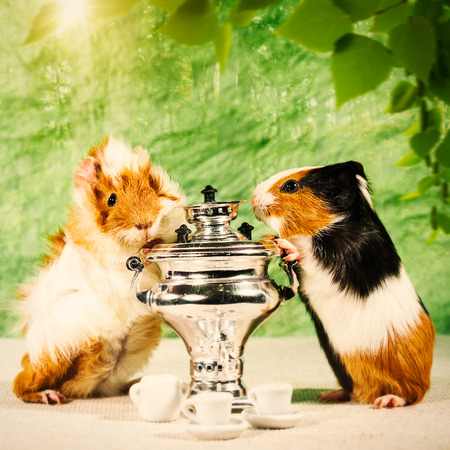 Funny still life with couple of guinea pigs and tea pot photo