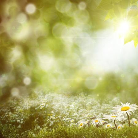 marguerite: milieux midi d'�t� avec des fleurs de marguerite beaut� Banque d'images