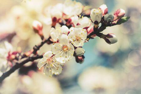 apricot tree: Apricot tree flower, retro seasonal backgrounds