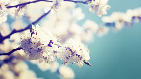 natural backgrounds: Apricot tree flower, natural abstract backgrounds Stock Photo