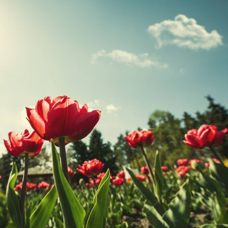 bulb tulip: Tulip flowers, abstract natural landscape for your design
