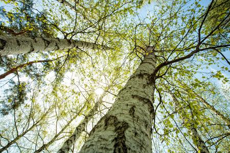 Berkenbos, abstracte natuurlijke achtergronden Stockfoto