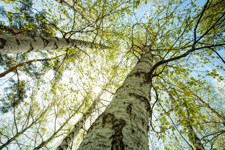 luz natural: Bosque del abedul, fondos abstractos naturales
