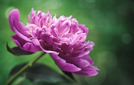 flori culture: Peony flower over abstract green backgrounds. Floral wallpapers with beauty bokeh