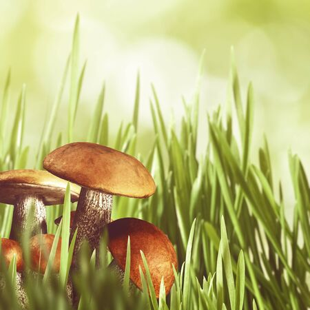 natural backgrounds: Abstract natural backgrounds with green grass and beauty mushrooms Stock Photo