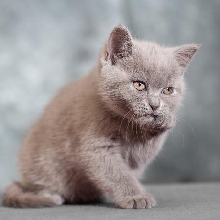 scottish straight: Scottish straight cat. Baby animal portrait