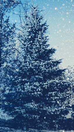 blue christmas background: Pine tree and snow fall, abstract seasonal backgrounds Stock Photo