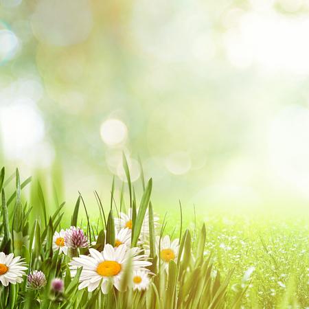 Beauty natuurlijke achtergronden met kamille bloemen voor uw ontwerp Stockfoto - 51925230