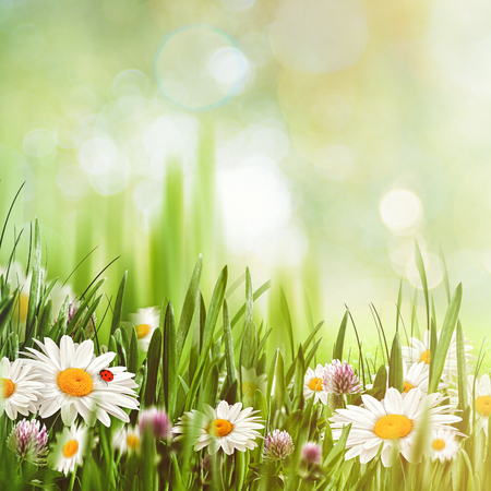 daisies: Beauty natural backgrounds with chamomile flowers for your design