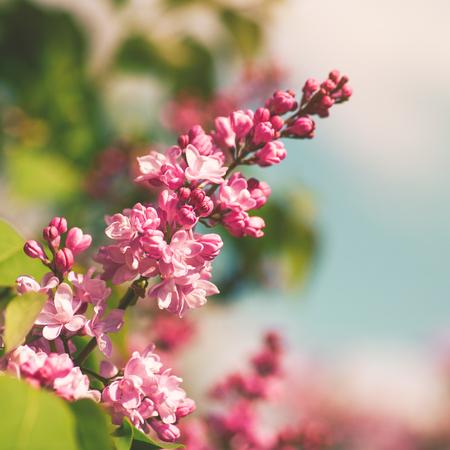 cerezos en flor: Flores de Sakura, extracto fondos de primavera