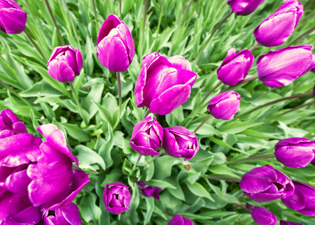 wide angle lens: Tulip flowers. Super wide angle lens shot