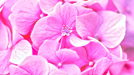 Pink hydrangea flower. Abstract floral backgrounds
