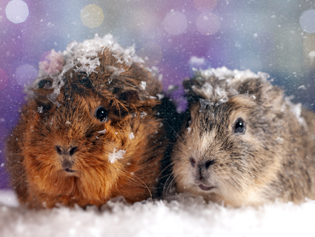 Couple of guinea pig looking at camera. Abstract winter backgrounds Standard-Bild