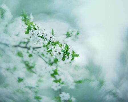 Spring flowers. Blossoming Apple tree. Seasonal backgrounds