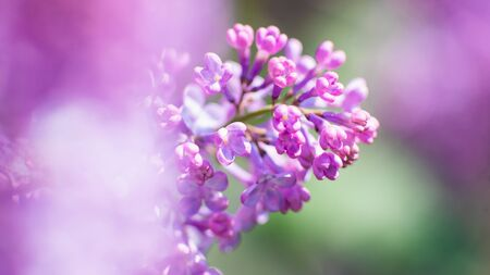 Blooming lilac. Seasonal natural backgrounds Standard-Bild - 146138819