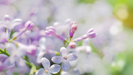 Blooming lilac. Seasonal natural backgrounds Standard-Bild
