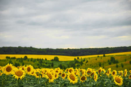 Summer on the sunflowers field. Agriculture and rural background