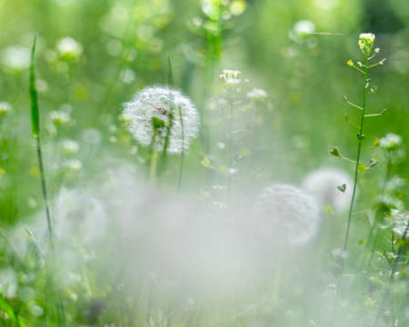 Dandelion meadow. Seasonal natural backgrounds with shallow depth of field Standard-Bild