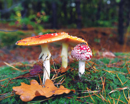 Amonita mushroom in the forest. Beautiful fall backgrounds with fly agaric