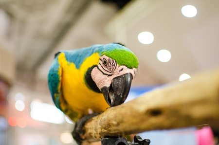 Macaw show, Rayong, Thailand photo