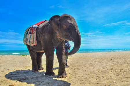 Thai elephant on the beach photo