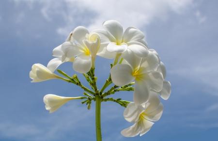 Flangipani flower photo