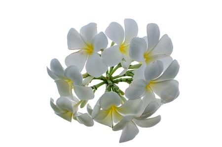 Frangipani with white isolated photo