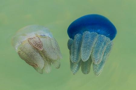 Les méduses dans la mer thaïlandaise Banque d'images - 16324629