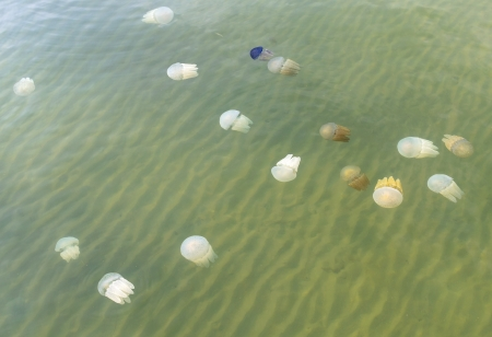 Many of jellyfished in Thai sea photo