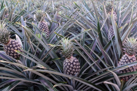 The pineapple plantation in east of Thailand photo