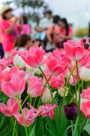 Tulipas rosa no jardim tailand