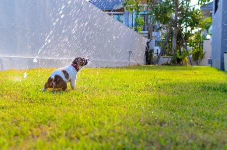 Puppy playing with spray water on the grass