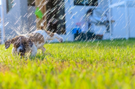 Puppy playing with spray water on the grass photo
