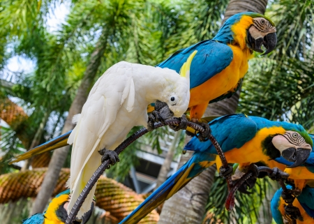 Macaws in the zoo, Thailand photo