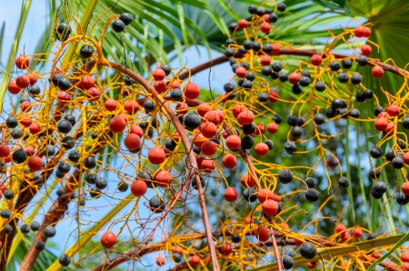 Red palm fruits in the garden, Thailand