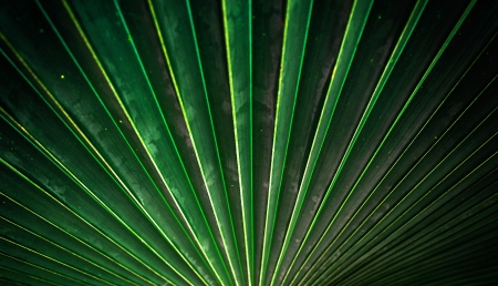 Sugar palm leaf texture and background