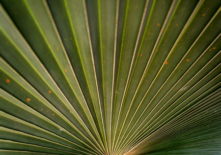 Sugar palm leaf texture and background photo