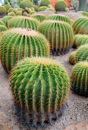 Cactus esf Banco de Imagens
