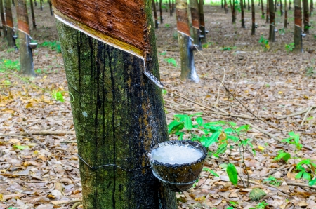 Rubber trees in east of Thailand Stock Photo - 19949822