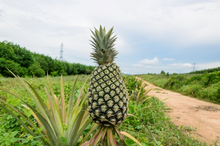 Pineapple garden in east of Thailand photo