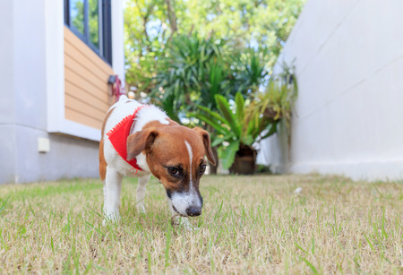jack russel on a green spring grasses