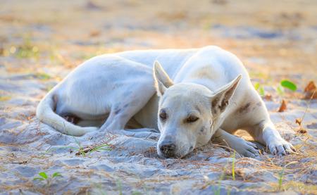 Sleeping relaxed dog on the beach sand, Thailand