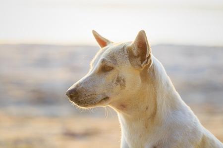 Relaxed dog on the beach sand, Thailand