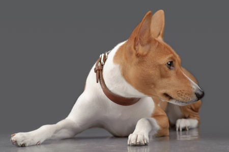 Puppy of basenji laying isolated on gray