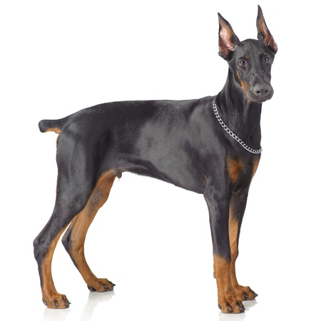 Puppy od doberman standing isolated on white