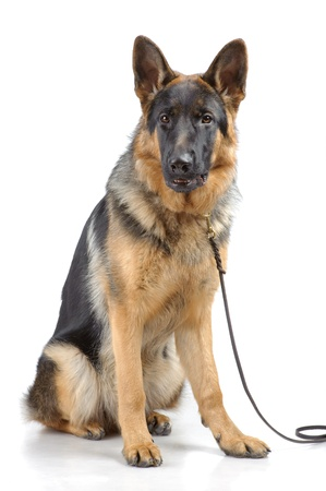 German shepherd sitting isolated on white Stock Photo - 10437273