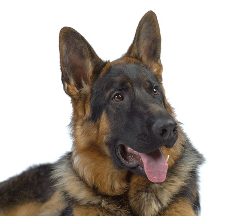 German shepherd laying isolated on white