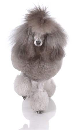 Portrait of poodle on three legs isolated on white