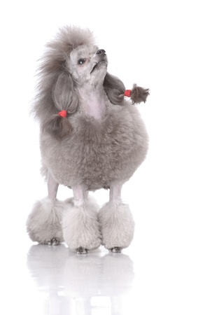 Portrait of poodle looking up isolated on white Stock Photo